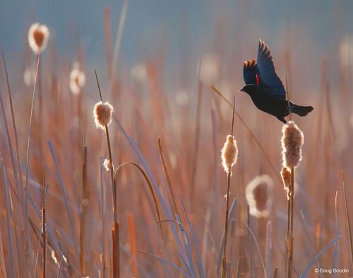 Photo - Red-winged blackbird takes flight.