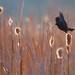 Red-winged blackbird takes flight.