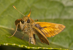 """Skipper Butterfly • <a style=""""font-size:0.8em;"""" href=""""http://www.flickr.com/photos/57024565@N00/9342282487/"""" target=""""_blank"""">View on Flickr</a>"""