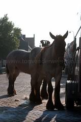 DSC_2173 (Ton van der Weerden) Tags: horses horse dutch de cheval belgian nederlands belges draft chevaux belgisch trait ijzendijke trekpaard trekpaarden