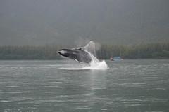 Cruise--Juneau Whales Breach2 (vabandit) Tags: june alan alaska boat photo rainforest contest trails full juneau company captain ms gary whales extension humpback capture zaandam guiding breach gastineau liotta 2013