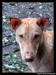 Monsoon Matheran Trip - Cute Dog (Raman_Rambo) Tags: trip dog cute trek monsoon matheran