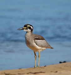 DSC_0014 (RUMTIME) Tags: bird nature birds flying flight feathers feather queensland curlew coochiemudlo