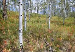 Shadow Mountain Aspens (laura's POV) Tags: tree forest aspens wyoming hdr jacksonhole tetonnationalpark shadowmountain tetonnationalforest canon5dmarkiii lauraspointofview lauraspov