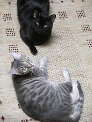 Hugo & Lucky (Philosopher Queen) Tags: friends cats blackcat chats couple pair kittens gatos lucky hugo tabbycat