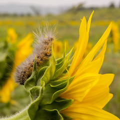 Ridin' a Sunflower into the New Day (gimmeocean) Tags: macro canon newjersey nj caterpillar sunflower augusta sussexcounty canonef100mmf28usmmacro sunflowermaze canoneos5dmarkiii canon5dmarkiii 5dmarkiii sussexcountysunflowermaze