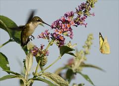 Hummingbird vs butterfly (Jen St. Louis) Tags: ontario canada butterfly garden inflight backyard hummingbird elmira hummingbirds butterflybush backyardbirding nikkor300mmf4 nikond7000 jenstlouis jenstlouisphotography wwwjenstlouisphotographycom