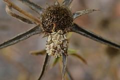 Carpocoris mediterraneus (esta_ahi) Tags: barcelona españa insectos fauna spain flora plantas asteraceae penedès compositae silvestres heteroptera испания torrellesdefoix caldeunegre