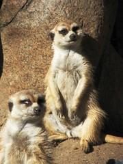 "MEERKAT 180_167 (Dancing with Ghosts Graphics) Tags: copyright cute animal mammal meerkat pups small gang mob 180 clan mongoose angola sentry suricate burrows suricatta desert"" diurnal 2013 fawncolored herpestid iteroparous ""kalahari dwgg ""namib debbrawalker feliform dancingwghosts ""suricata suricatta"" ""botswana"" oraging siricata"" majoriae"" iona"""