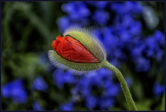 A poppy bud opens slowly...... (scorpion (13)) Tags: sun flower colour nature garden spring blossom poppy bud photoart
