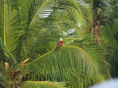 Kannur district, Kerala, India, Asia, North-Kerala, Indien, Asien (oksana8happy) Tags: copyright india bird birds animal animals tiere asia asien heiconeumeyer kerala palmtrees palmtree vögel palme indien coconutpalm tier vogel southindia southasia copyrighted palmen coconutpalms kannur kokosnusspalme kokospalme cannanore northkerala coconutpalmtree südindien coconutpalmtrees südasien nordkerala kannurdistrict
