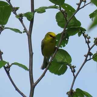 Blue-winged Warbler, Hartman Park