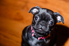 Theanimals09May15-17.jpg (fredstrobel) Tags: usa pets dogs animals ga sophie pug places pugs canton joansnewhome