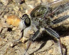Bearded robber fly (Efferia sp.), closer, Molino Basin, Tucson, April 2015 (Judith B. Gandy) Tags: arizona tucson insects flies invertebrates robberflies molinobasin efferia beardedrobberflies