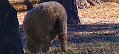 Ardenwood 20141102 (caligula1995) Tags: 2014 ardenwood sheep tree