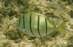 DSCF0879 (washuugenius) Tags: photo hawaii kauai underwater fish keebeach