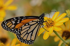 Plenty of Yellow (brev99) Tags: topazdetail butterfly dxooptics8 cacorrection flowers d7100 tamron180f35 yellow yellowflowers highqualityanimals ngc