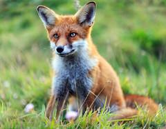 Red Fox Cub (Fazer44) Tags: redfox red fox wild wildlife animal isleofwight
