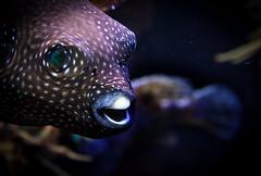 Fehmarn - Tag 7 - Fugu (O.I.S.) Tags: fehmarn deutschland germany ozean ocean sea meer meereszentrum aquarium wasser water