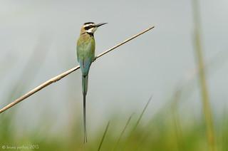 White-throated Bee-eater, Guêpier à gorge blanche (Merops albicollis) - Sô-Ava, BENIN
