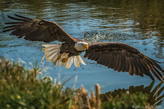 Bald Eagle On The Water (murf50) Tags: animals canada ontario owensound paulmurphy raptorconservancy water americanbaldeagle animal baldeagle beak bird birds eagle feathers flight pond wildlife wings