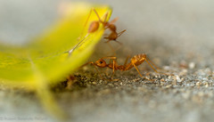 what are you doing there? (Robert Benatzky Picture) Tags: ants ameise macro animal insekt tier robertbenatzkypicture