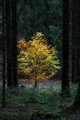 Im Wald (berndtolksdorf1) Tags: baum bume wald natur landschaft outdoor laubbaum buche
