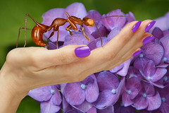 Giant Ant (swong95765) Tags: hydrangea flowers hand nailpolish ant insect nature bokeh palm lavender purple