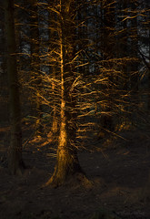 Fame (shawnraisin d+p) Tags: fujifilmxt10 nature shawnwhite colours coniferous dark enchanting forest forestry gold magical mood tree trees wood woodland woods trefenter wales unitedkingdom gb