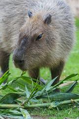 capybara7565wf (marzipan bunny) Tags: 16 2016 tucson arizona capybara november reidparkzoo zoo zooanimals zoophotograaphy