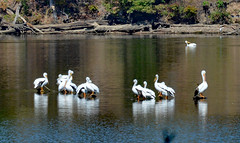 Basking Pelicans (BKHagar *Kim*) Tags: bkhagar pelican pelicans white bird birds large water waterfowl migration swim swimming flying river elkriver alabama al