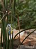 Eurasian blue tit_Galazopapaditsa_Cyanistes-caeruleusIMG_7827web (kostas ladas photography) Tags: wild birds birdwatching birding photography colours blue yellow wildlife greece ymittos mountain kostas ladas birdingphotography canon 100400l canonlens