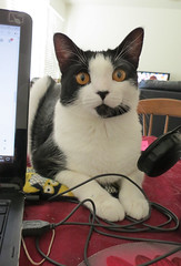 Emotional helper or visual distraction? (KristinVictoria) Tags: inthestudio in the studio art artist artistic colours colors colour color studiocat cat catsofflicker tuxedo black white astrid computer work based arizona az from washington wa state states usa us helper little visual distraction kitten alwaysworking always working alwayscreating creating