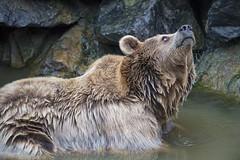 Brown bear looking upwards (Tambako the Jaguar) Tags: bear brown bathing water lookingupwards profile portrait parcanimalier saintecroix park parc rhodes zoo france nikon d5