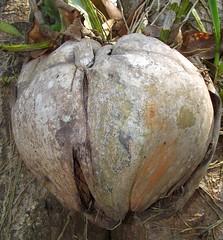 ANGKOR COCONUT (patrick555666751) Tags: angkor coconut noix de coco fruit cambodia cambodge asie du sud est south east asia flickr heart group angkorcoconut kampuchea cambodja camboja cambogia kambodscha camboya