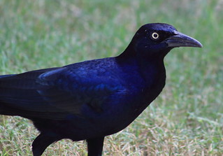 great-tailed grackle (explored)