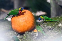 Lorikeets on a Pumpkin (Eric Kilby) Tags: tampa lowrypark zoo bird lorikeets tropical pumpkin
