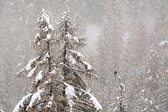 ART_8328m (MILESI FEDERICO) Tags: milesi montagna milesifederico italia italy piemonte piedmont alpi alpicozie altavallesusa altavaldisusa autunno fall federicomilesi nikon nikond7100 d7100 iamnikon automne visitpiedmont valsusa valdisusa valliolimpiche valledisusa nital 2016 novembre europa europe neve nevicata snow bird animale animali fauna sigma150500 sigma poiana