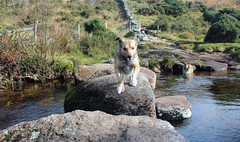 The leap (Rebekah *) Tags: elements dog steppingstones laughterhole devon dartmoor leaping jumping norwegianelkhoundcross colliecross mongrel walking outside countryside nature