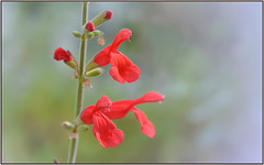 Scarlet Sage (tdlucas5000) Tags: socal fullertonarboretum macro closeup bokeh creamybokeh flower flowers red scarletsage wildflower