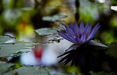 flower 1037 (kaifudo) Tags: sapporo hokkaido japan botanicalgarden flower reflection 睡蓮 札幌 北海道 北大植物園 nikon d750 nikkor afs 70200mmf28gedvrii 70200mm waterlily