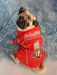 Pug Ottawa Senators Fan (DaPuglet) Tags: pug dog ottawasenators sens ottawa senators hockey nhl sports team fan puppy pets pugs dogs jersey animals animal pet