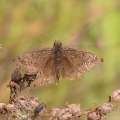 Juvenal's Duskywing_8514 worn ( Erynnis juvenalis ) (agawa2yukon) Tags: hesperiidae pyrginae butterflies butterfly algoma lepidoptera
