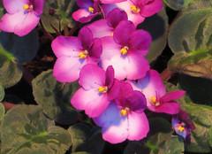 2-IMG_1508 (hemingwayfoto) Tags: berggarten berggartenhannover blhen blte blume floristik macro natur topfpflanze usambara veilchen zierpflanze zuchtform