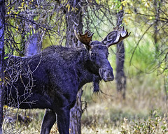 Young Bull Moose Cautiously Moving Through The Area, Jackson Hole Wyoming (Hawg Wild Photography) Tags: moose wildlife animal animals nature jacksonholewyoming grand teton tetons national park terrygreen nikon nikon200400vr d810 hawg wild photography