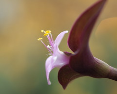 Purple Plant (Will.Mak) Tags: willmak olympus em1 olympus50mmf20 flower plant petal bokeh olympus50mmlens