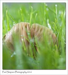 Hidden Mushroom (Paul Simpson Photography) Tags: grass gills mushroom fungi fungus paulsimpsonphotography photosof photoof imageof imagesof naturalworld nature november2016 sonya77 sonyphotography automne autumn dewdrop