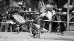 Pigeons Grouped Flight (Johnnie Shene Photography(Thanks, 2Million+ Views)) Tags: pigeon pigeons dove doves bird birding fly flying flight midair flapping wings limbs grouped group sideview photography horizontal outdoor fragility freshness nopeople foregroundfocus adjustment fulllength motion slow nature natural blackandwhite korea animal still stationary interesting awe wonder tranquility synchronised takeoff canon eos600d rebelt3i kissx5 sigma apo 70300mm f456 dg macro zoom lens      columbidae