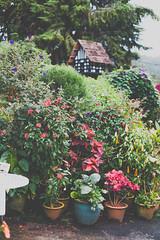 DSCF1137 (tzeyangtan) Tags: cameron highlands getaway green sgpalas tea plantation photography