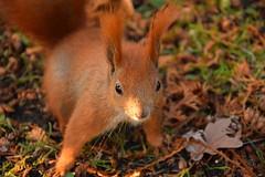nuts, please...? (JoannaRB2009) Tags: squirrel animal closeup red ginger fur park d lodz polska poland parkimksiciajzefaponiatowskiegowodzi autumn fall